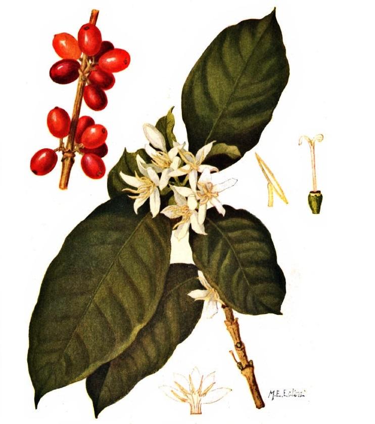 Необычные рецепты кофе: рисунок кофеных ягод