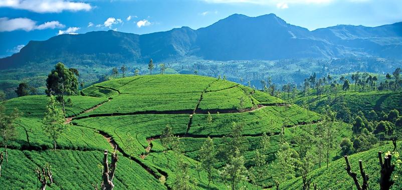 Цейлонский чай: провинции