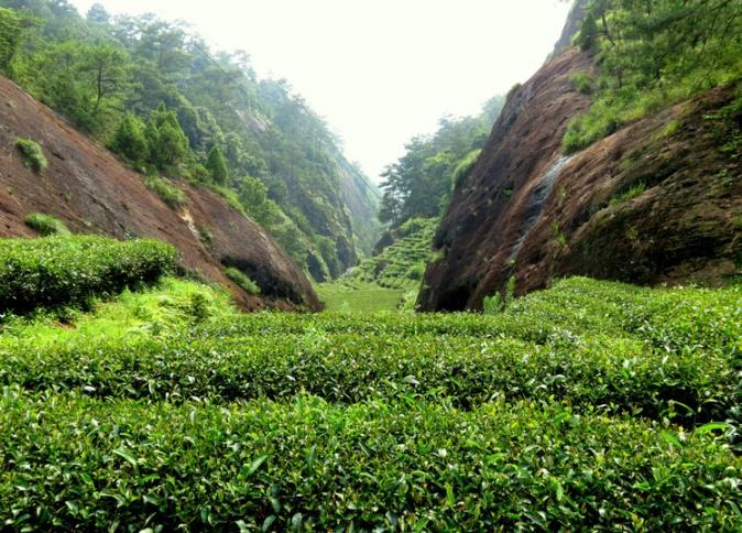 Производство чая Да Хун Пао (Дахунпао)